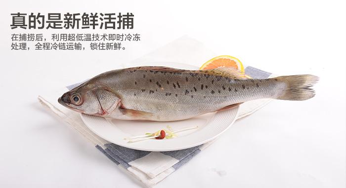 海鲈鱼图片